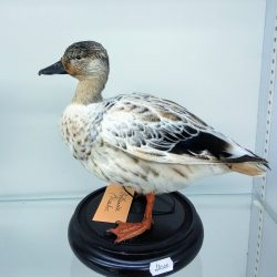 eend taxidermy
