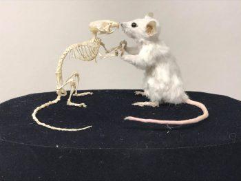 skeletteren muis