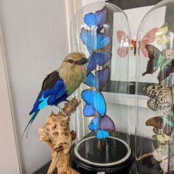 taxidermie blauwe scharrelaar