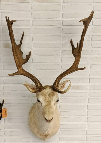 wit damhert taxidermie