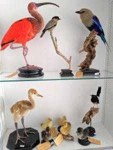 Vogels taxidermie bij INScT
