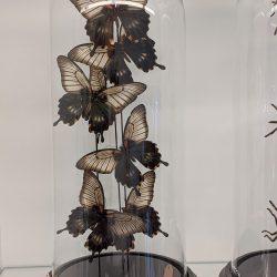 Papilio Lowii, papilionidae
