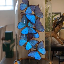 grote oude stolp morpho's