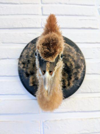 grijze kraanvogel of kroonkraanvogel, jong
