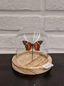 oranje vlindertje