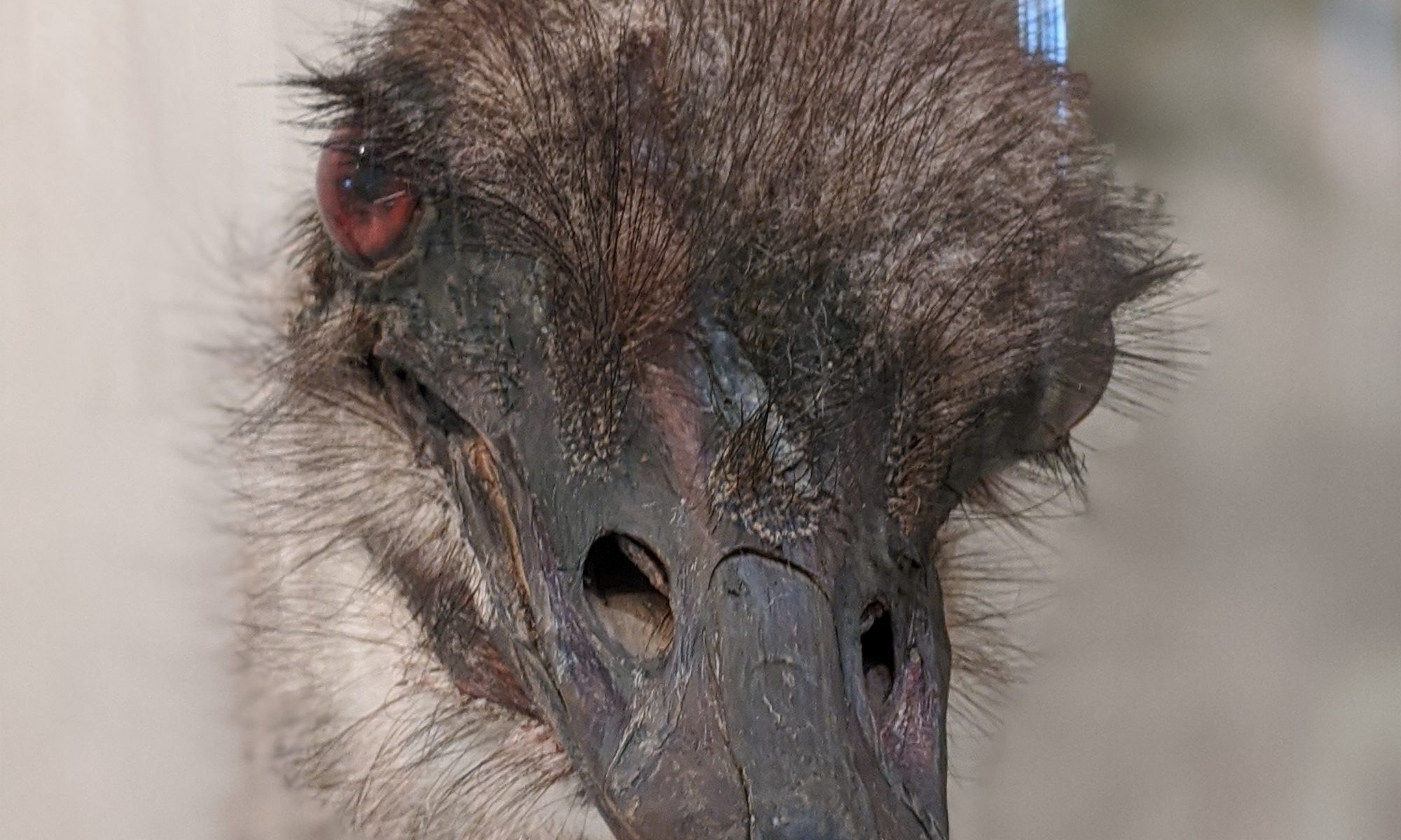 opgezette struisvogelkop