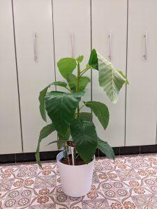FicusFloris