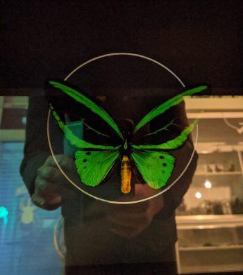 Ornithoptera