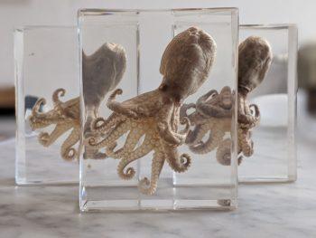 octopus in hars