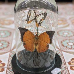 roestkleurige vlinders