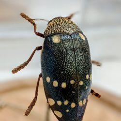 Sternocera Castanea