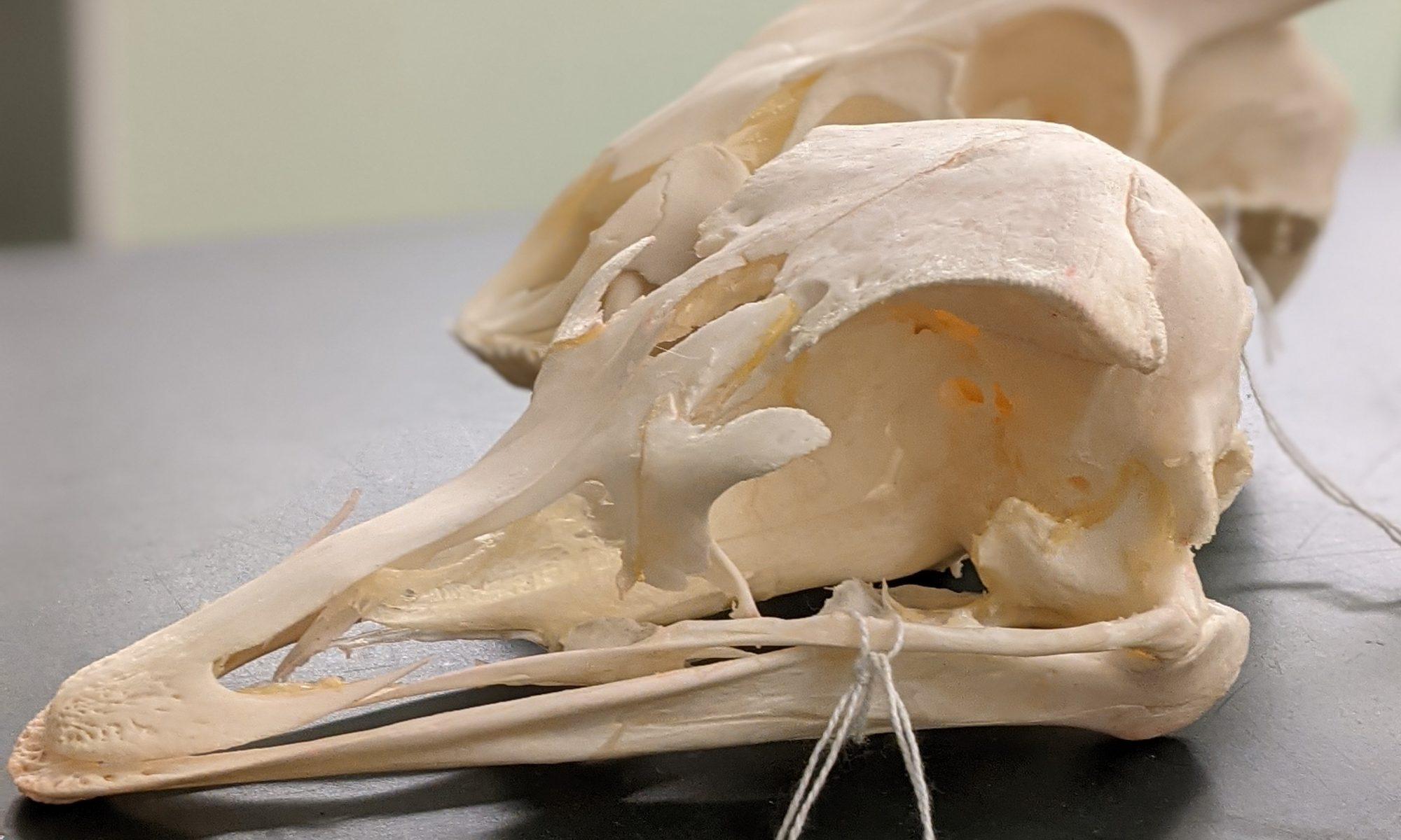 schedel struis