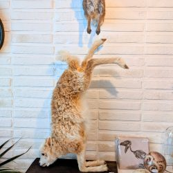 taxidermie lam