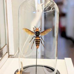 Japanse hoornaar