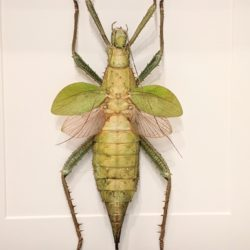 Heteropteryx Dilitata
