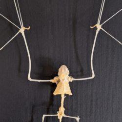vleermuis skelet